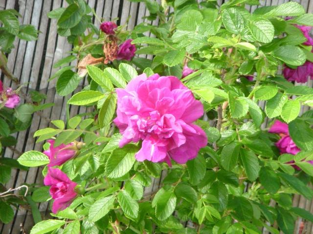 Les roses en ce moment dans mon jardin Dsc07517