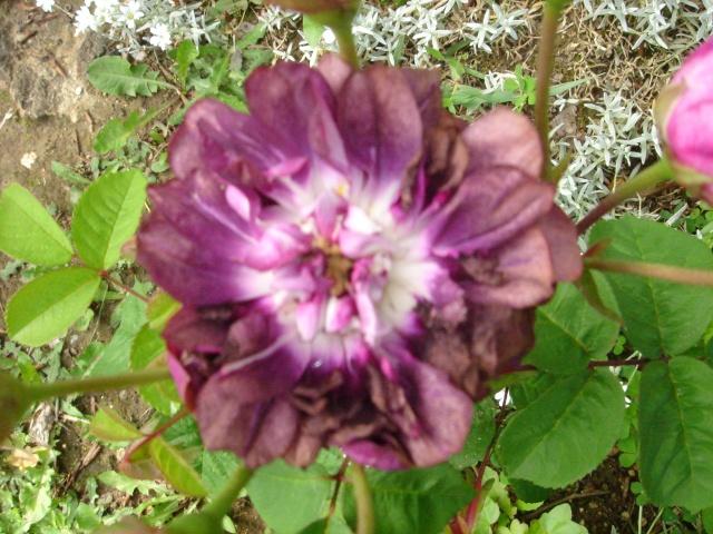 Les roses en ce moment dans mon jardin Dsc07518