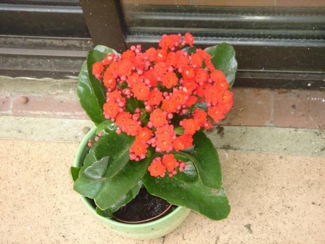 Les plantes grasses en fleurs Dsc07610