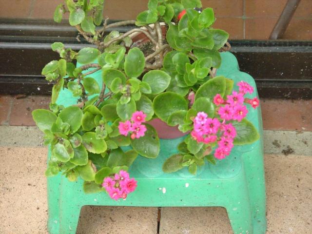 Les plantes grasses en fleurs Dsc07611