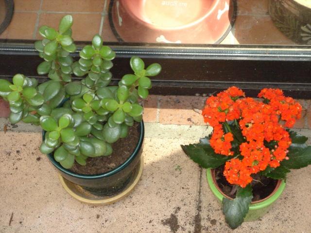 Les plantes grasses en fleurs Dsc07612