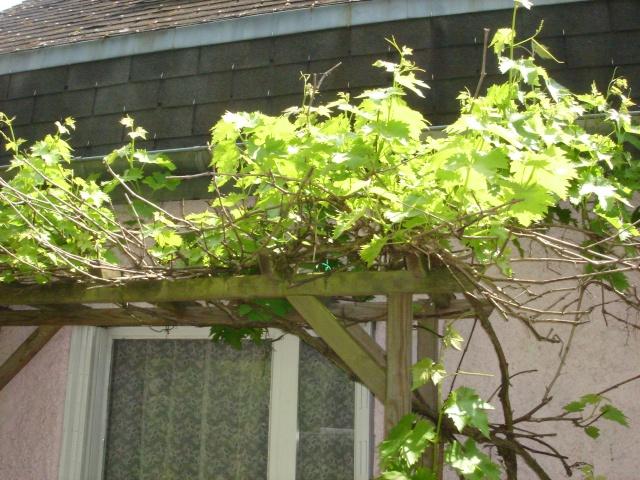 Ma vigne : muscat de Hambourg Dsc07613
