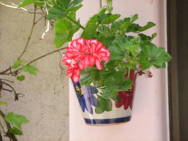 Petit géranium lierre bicolore Dsc07614