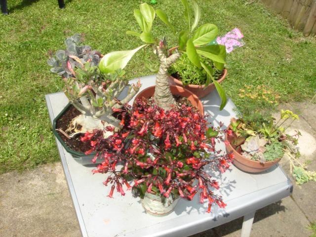 Les plantes grasses en fleurs Dsc07615