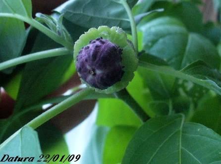 Mon datura est en fleur P1090117