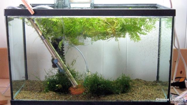 Élevage Pterophyllum sp. Rio Nanay sans les parents 10_gal11