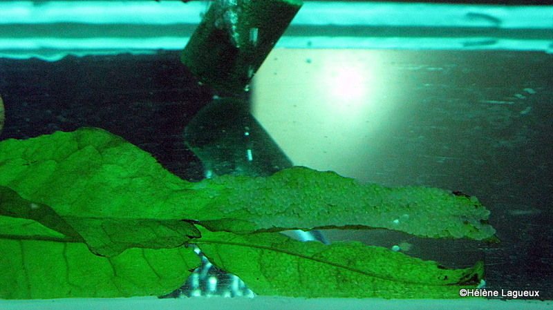 Élevage Pterophyllum sp. Rio Nanay sans les parents Img_3313