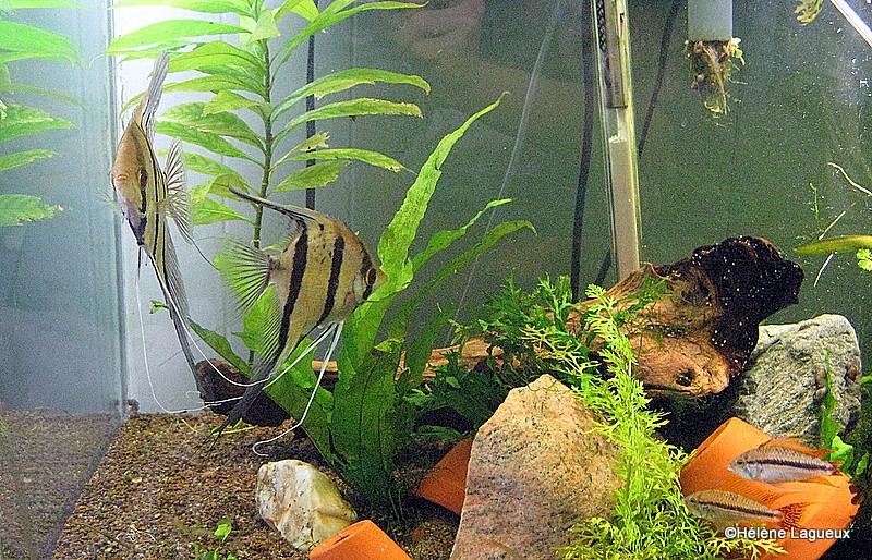 Élevage Pterophyllum sp. Rio Nanay sans les parents Nettoy10