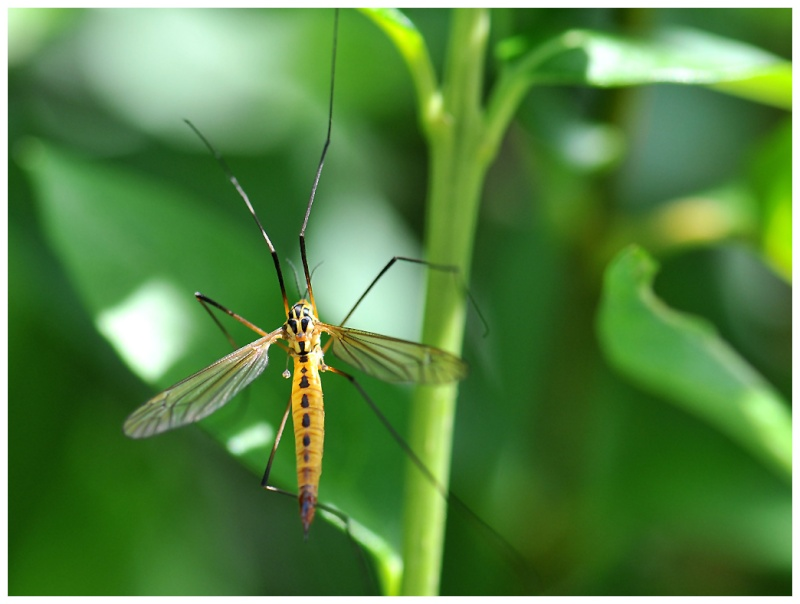 El Mosquito ! 42c10