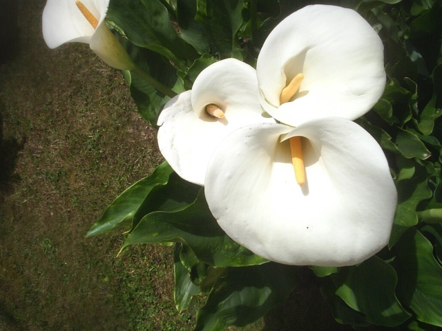 Fleurs du jardin Arums10
