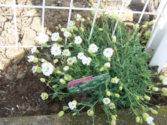 Fleurs du jardin Fleurs11