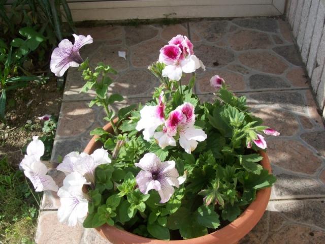 Fleurs du jardin Petuni10
