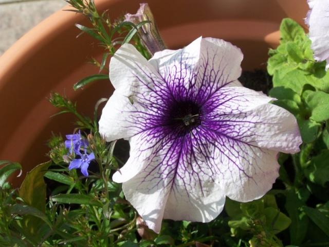 Fleurs du jardin Petuni11