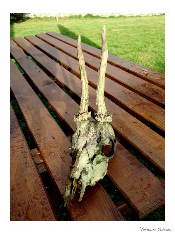 Mues de cerfs ou de chevreuils - Page 6 Dscf1517
