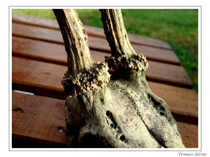 Mues de cerfs ou de chevreuils - Page 6 Dscf1518