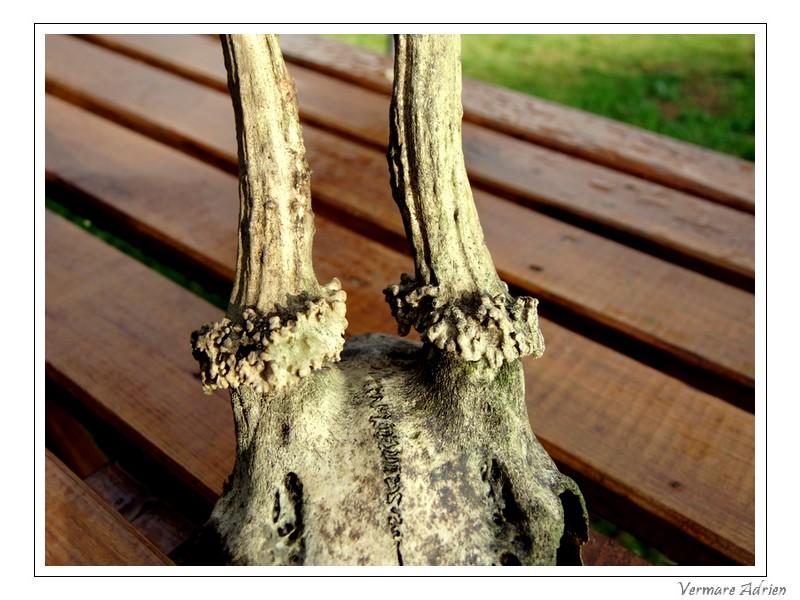 Mues de cerfs ou de chevreuils - Page 6 Dscf1519