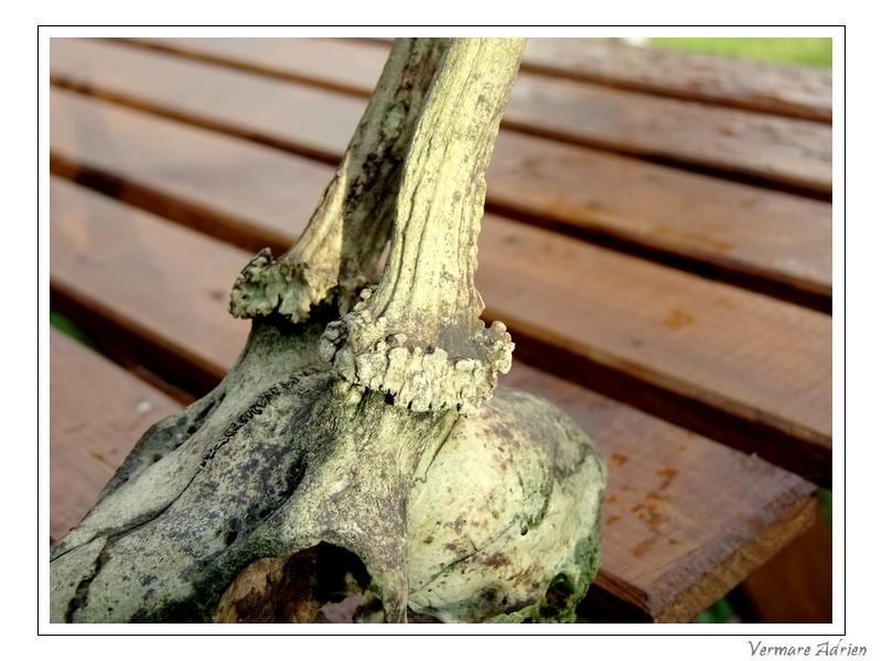 Mues de cerfs ou de chevreuils - Page 6 Dscf1520