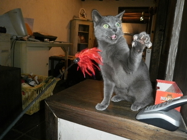 Toulouse chaton gris de 3 mois. P8180010