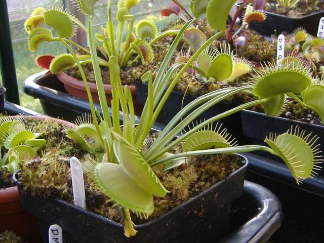 Dionaea Muscipula 'H52' Dscf4710