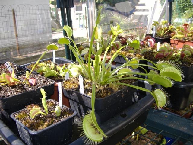 Dionaea Muscipula 'H52' Dscf4810