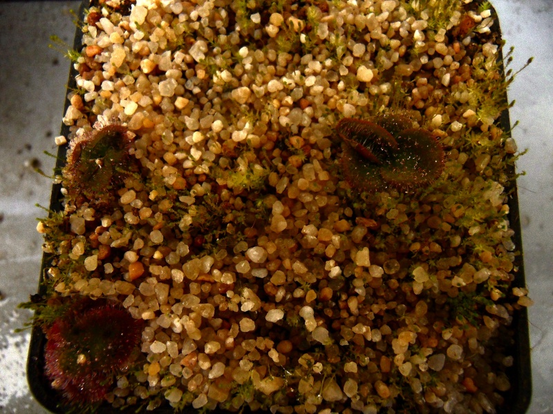 Drosera Erythrorhiza ssp Squamosa laterite form Sdc13112