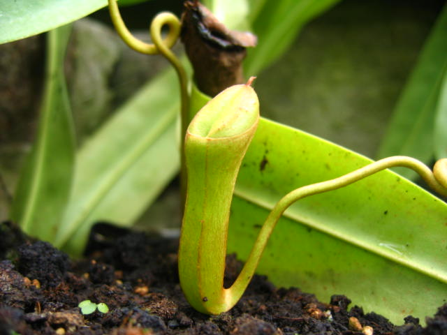 Nepenthes & Heliamphora