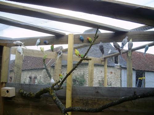 mes oiseaux de volière... P6090110
