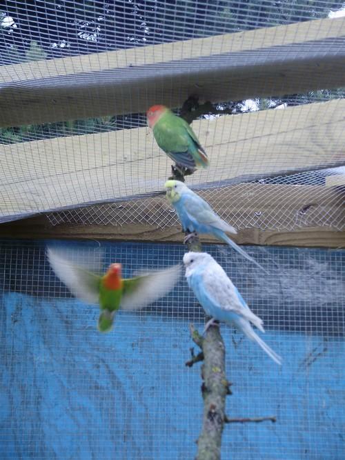 mes oiseaux de volière... P6100010