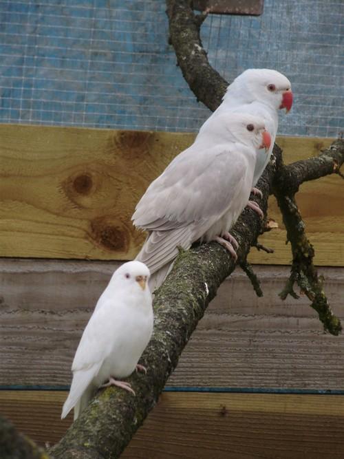 mes oiseaux de volière... P6100012