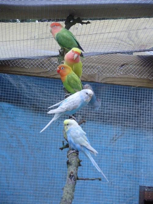 mes oiseaux de volière... P6100013