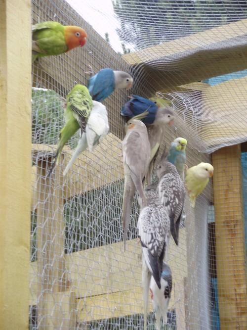 mes oiseaux de volière... P6100014