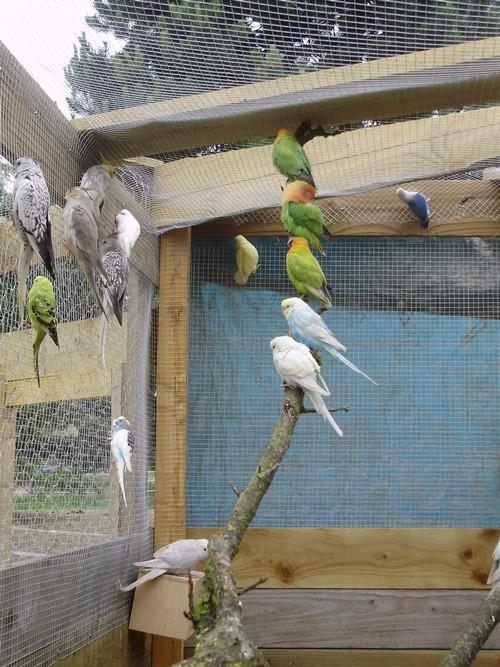 mes oiseaux de volière... P6100015