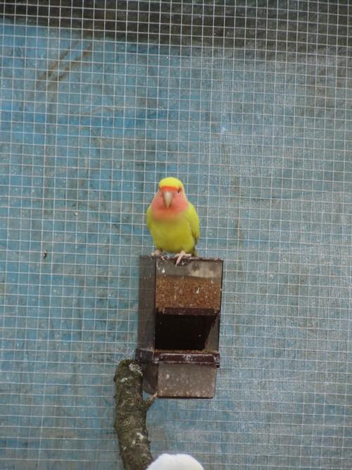 mes oiseaux de volière... P6100016