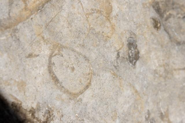 coquillage ? Brachiopodes Dsc03412
