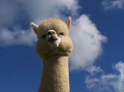 Random googling Alpaca10