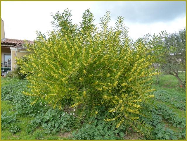 mimosa P1000223