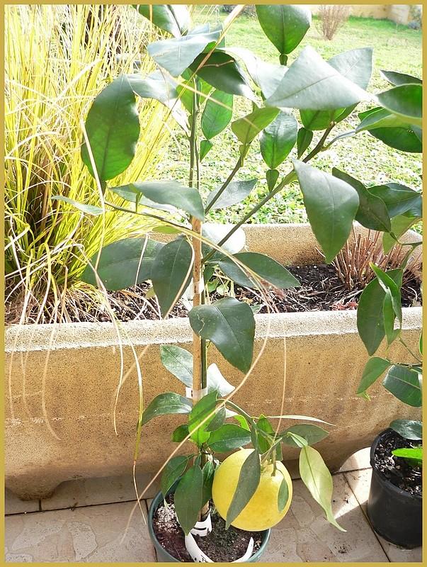 Les agrumes, c'est bientot - Page 2 P1170614