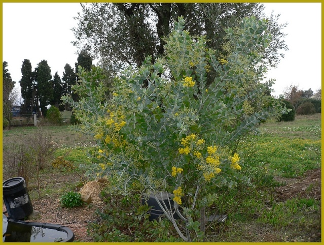 mimosa P1230751