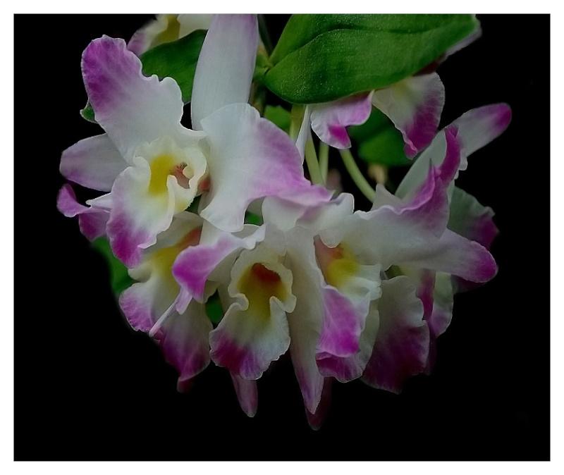 Dendrobium nobile Sans_t12