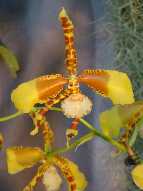 expo orchidees vergeze 2009 Dsc03125