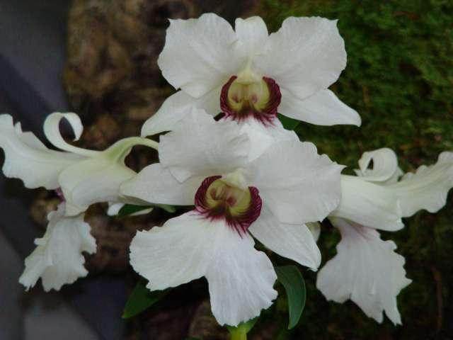 expo orchidees vergeze 2009 Dsc03128