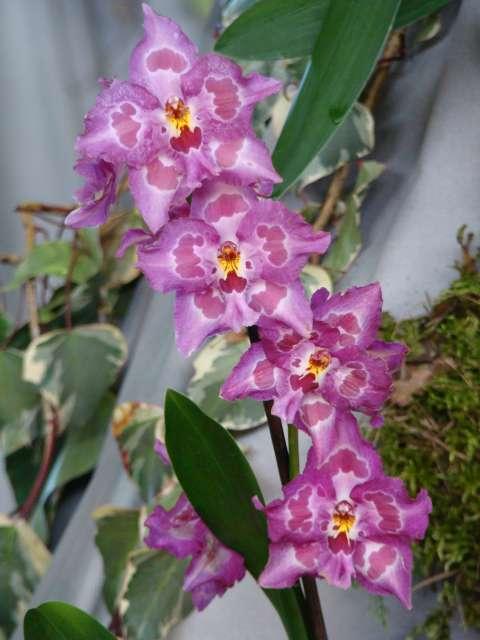 expo orchidees vergeze 2009 Dsc03215