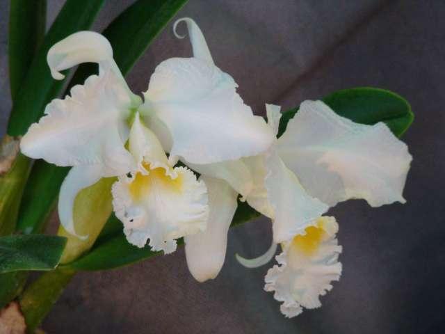 expo orchidees vergeze 2009 Dsc03217