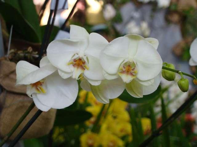 expo orchidees vergeze 2009 Dsc03219