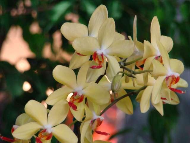 expo orchidees vergeze 2009 Dsc03220