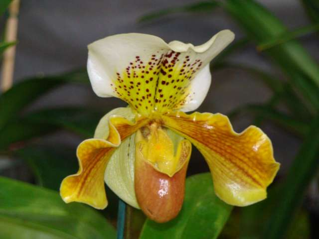 expo orchidees vergeze 2009 Dsc03221