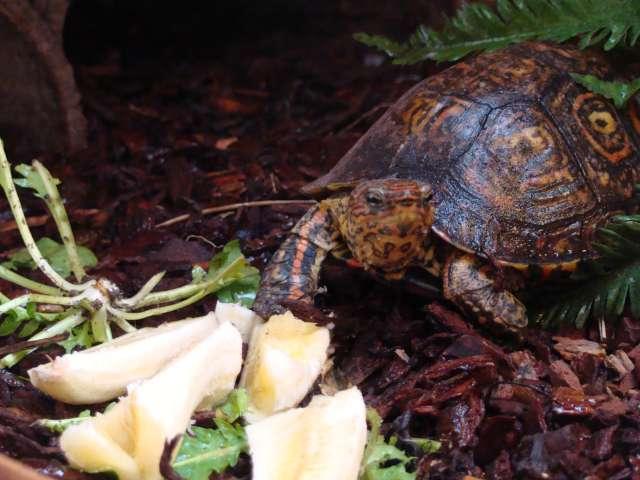 rhinoclemmys pulcherinna manni ! Dsc06911