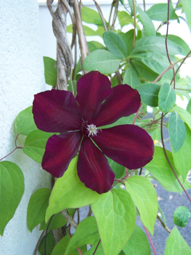 de nouvelles fleurs au jardin 104_4329