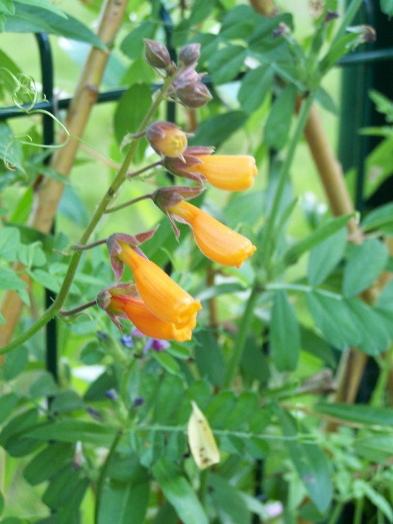 de nouvelles fleurs au jardin 104_4330
