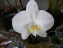orchidée phalaenopsis Orchid10